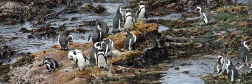 Where to view penguins in South Africa