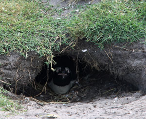 nesting jackass penguin in south africa