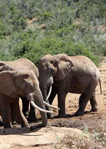 Elephants, South Africa, treat with respect