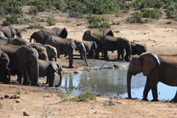 Elephants at Addo Elephant Park in South Africa