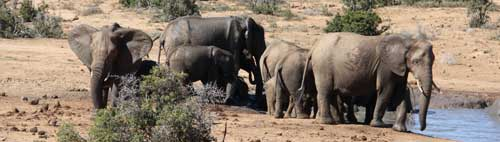 Elephants around a water hole in South Africa