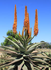Aloes flowering in semi desert regions in South Africa