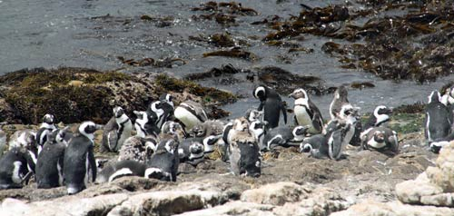 jackass penguin colony south africa